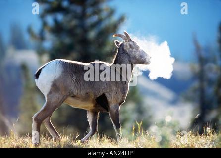 Dickhornschaf Bighorn Sheep Ovis canadensis Breath Jasper NP Kanada - Stock Photo