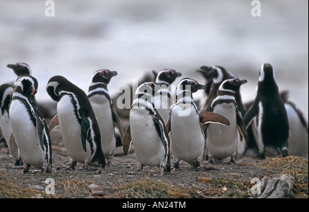 Pinguin Kolonie Magellanpinguine Seno Otway Patagonia Chile Magellanic Penguin Colony Spheniscus magellanicus - Stock Photo