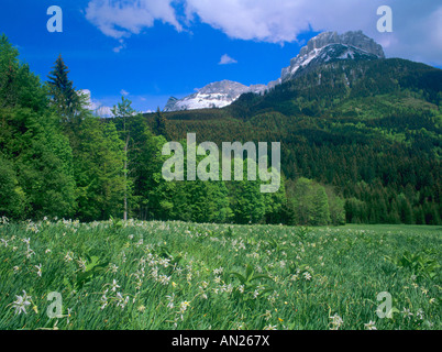 meadow with flowering poets narcissus narcissus poeticus and Loser mountain Bad Aussee Ausseerland Salzkammergut - Stock Photo