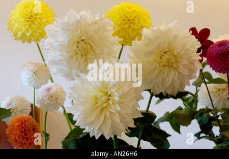 Dahlia flower exhibits in Garden Club show part of Talgarth Festival of the Black Mountains Powys Wales UK - Stock Photo