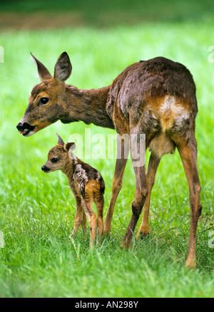 Rehe Ricke mit zwei Tage altem Kitz Capreolus capreolus Roe Deer with fawn - Stock Photo