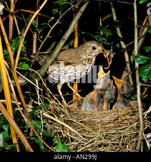 Singdrossel am Nest Turdus philomelos European Song thrush - Stock Photo