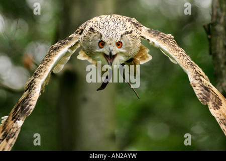 Uhu Bubo bubo Eagle Owl Europe middle Europe Europa Mitteleuropa - Stock Photo