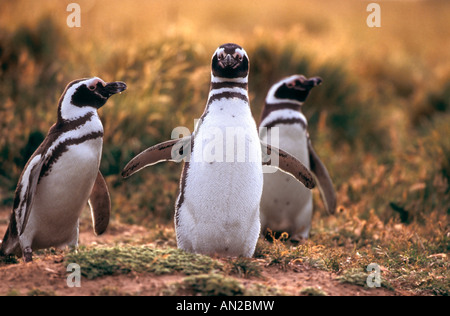 Pinguin Kolonie Magellanpinguine Seno Otway Patagonia Chile Spheniscus magellanicus - Stock Photo
