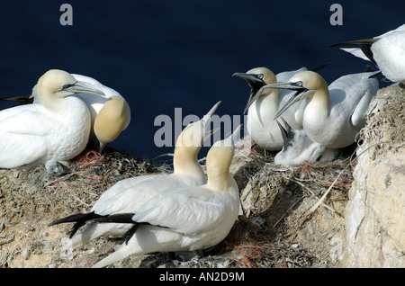 Basstoelpel sula bassana gannet north sea nordsee europe - Stock Photo