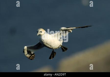 Basstoelpel sula bassana gannet north sea nordsee europe - Stock Photo