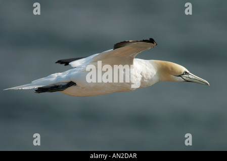 Basstoelpel sula bassana Northern Gannet Morus bassanus - Stock Photo
