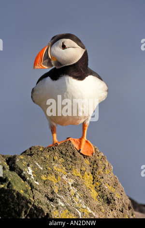 Atlantic puffin Papageitaucher Fratercula arctica Iceland Island Europe - Stock Photo