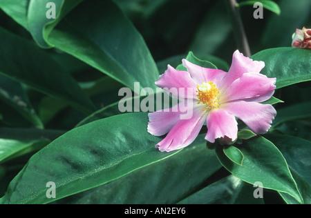 Rose Cactus (Pereskia grandifolia, Rhodocactus grandifolius), blooming - Stock Photo