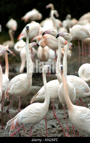 Andean Flamingoes - Stock Photo