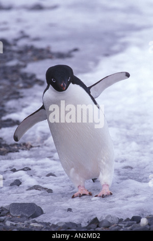 Adelie Penguin - Stock Photo