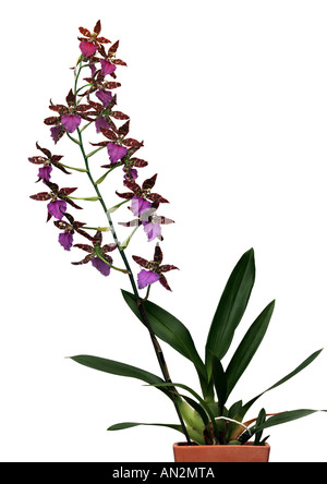 Odontoglossum hybrid (Odontoglossum-Hybride), blooming - Stock Photo