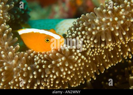 Orange anemonefishes Amphiprion sandaracinos in a Merten s sea anemone Komodo National Park Indonesia - Stock Photo