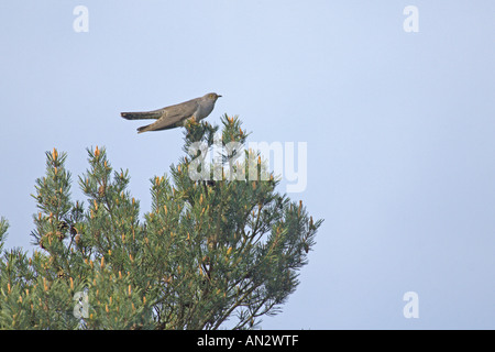 Common cuckoo Cuculus canorus adult male singing from top of Scots pine Surrey England May - Stock Photo