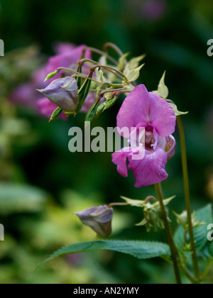 Himalayan balsam ( Impatiens glandulifera ) , also known as Indian ...