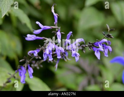 Blue Anise Sage aka Brazilian Sage Hummingbird Sage Anise Scented Sage or Giant Blue Sage Salvia guaranitica Indigo - Stock Photo
