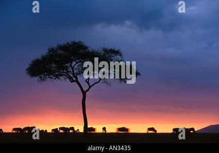 Wildebeest Connochaetes taurinus and acacia tree in silhouette against sunset Masai Mara National Reserve Kenya - Stock Photo