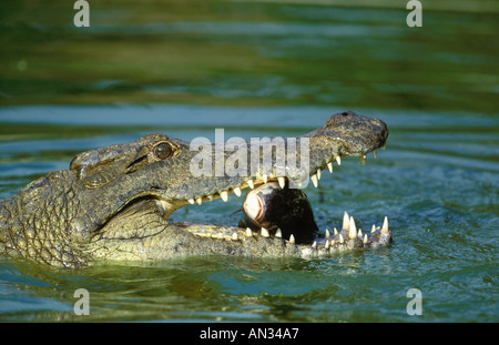 Nile Crocodile Crocodylus niloticus Fish are common food and are swallowed head first Africa - Stock Photo