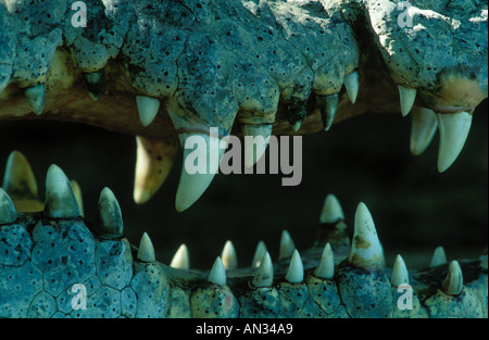 Nile Crocodile Crocodylus niloticus Teeth are adapted for catching and holding prey Africa - Stock Photo