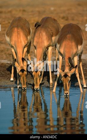 Impala Aepyceros melampus Drinking at waterhole Etosha National Park Namibia Distribution Southern Eastern Africa - Stock Photo
