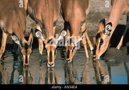 Impala Aepyceros melampus Etosha National Park Namibia Southern Eastern Africa - Stock Photo