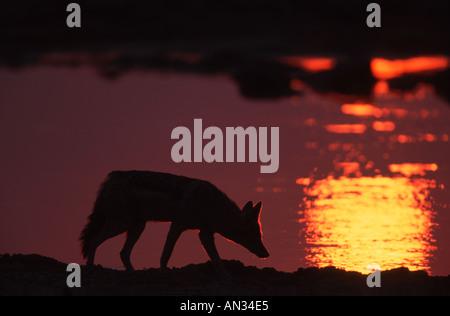 Black backed jackal Canis mesomelas At waterhole in silhoette Southern East Africa - Stock Photo
