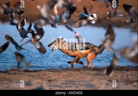 Black backed jackal Canis mesomelas Hunting doves at waterhole Etosha National Park Namibia Southern East Africa - Stock Photo