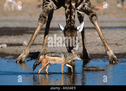 Black backed jackal Canis mesomelas Walks in front of giraffe drinking at waterhole Etosha National Park Namibia - Stock Photo