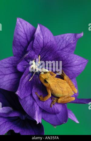 Northern spring peeper frog (Hyla crucifer) on purple Platycodon flower, Missouri USA - Stock Photo