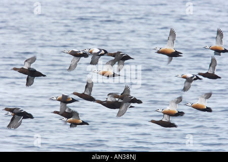 Steller s Eider Flock in flight Polysticta stelleri Varanger Fjord Norway BI013921 - Stock Photo