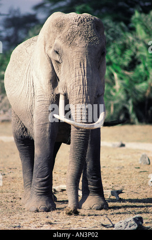 Old female elephant with asymmetrical tusks one curved back Amboseli National Park Kenya East Africa - Stock Photo