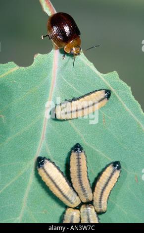 eucalyptus leaf eating grubs and beetle - Stock Photo