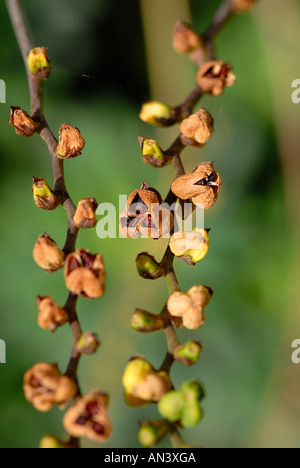 Seed Pods of Crocosmia 'Lucifer' - Stock Photo
