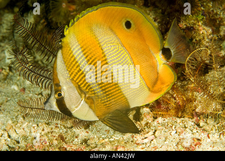 Orange banded butterflyfish Coradion chrysozonus Komodo National Park Indonesia - Stock Photo