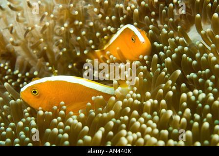 Orange anemonefishes Amphiprion sandaracinos in a Merten s sea anemone Komodo National Park Indonesia