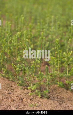 Spruce  ( picea abies ) saplings in nursery at Finnish National Forest Institute - Stock Photo