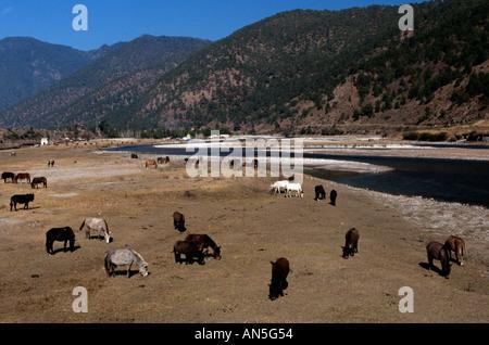 Donkeys grazing on pastures, Bhutan - Stock Photo