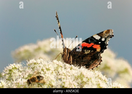 Red Admiral butterfly and bee both feeding on wild Angelica flower - Stock Photo