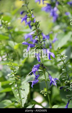 Blue Anise Sage aka Brazilian Sage, Hummingbird Sage, Anise Scented Sage or Giant Blue Sage Salvia guaranitica Blue - Stock Photo