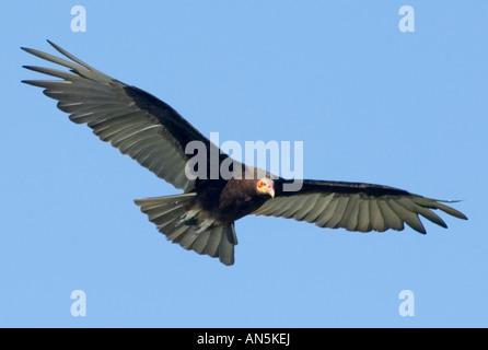 Lesser Yellow headed Vulture Cathartes burrovianus - Stock Photo