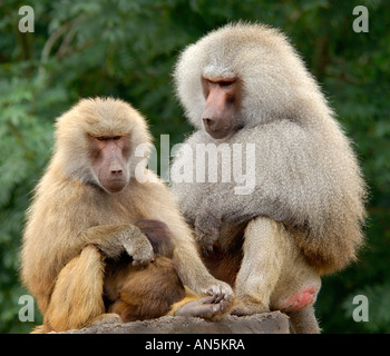 Intimate close up portrait of a pair of Hamadryas Baboon Papio hamadryas mother is cuddling its young - Stock Photo