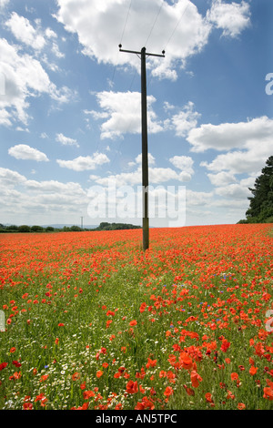 A telegraph pole in the middle of a poppy field at Pim Hill organic farm in Harmer Hill Shropshire UK - Stock Photo