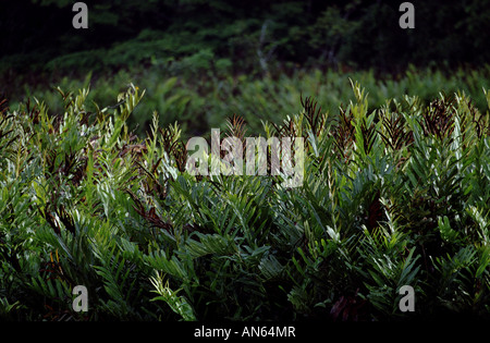 Dense rainforest vegetation in Soberania national park, Republic of Panama. - Stock Photo