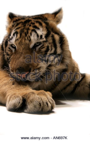 Tiger (Panthera tigris) cub portrait, 9 months old - Stock Photo