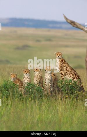 Cheetah (Acinonyx jubatus) mother with cubs, in the grass, Masai Mara, Kenya - Stock Photo