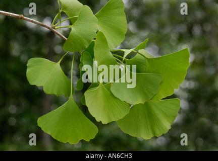 Ginkgo biloba leaves - Stock Photo
