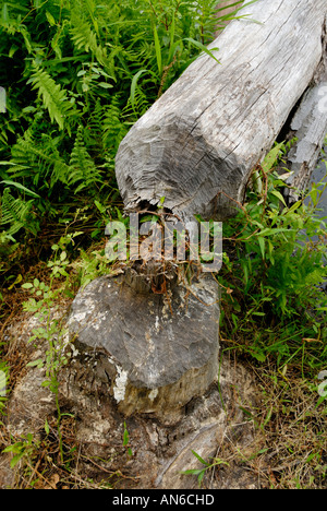 Tree cut down chewed by beaver, Castor canadensis - Stock Photo