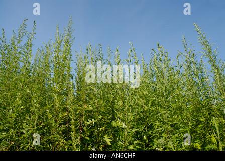 Common ragweed, Ambrosia artemisiifolia, plants against blue sky.  Ragweed pollen is a seasonal allergen. - Stock Photo