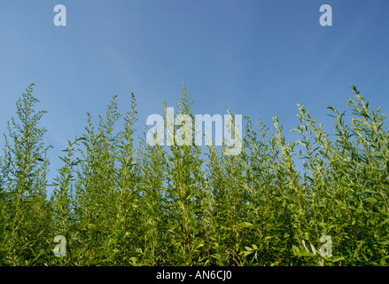 Common ragweed, Ambrosia artemisiifolia, plants against blue sky - Stock Photo