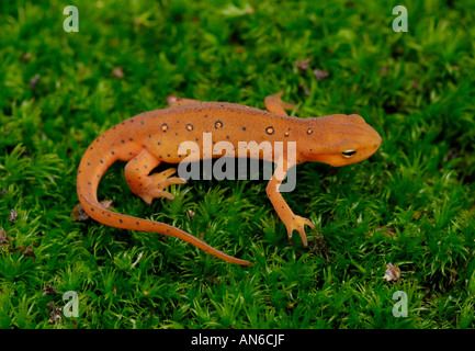 Eastern (or 'red-spotted') newt Notophthalmus viridescens juvenile in red eft stage